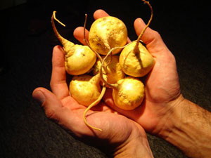 Мака (Lepidium meyenii) - тропически лек за либидо