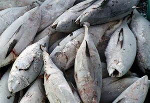 Риба Тон (Туна, Тунец) - какво не знам за нея?