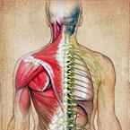 Мускулните и сухожилни травми