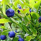 Сини и черни боровинки